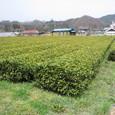 03 茶畑